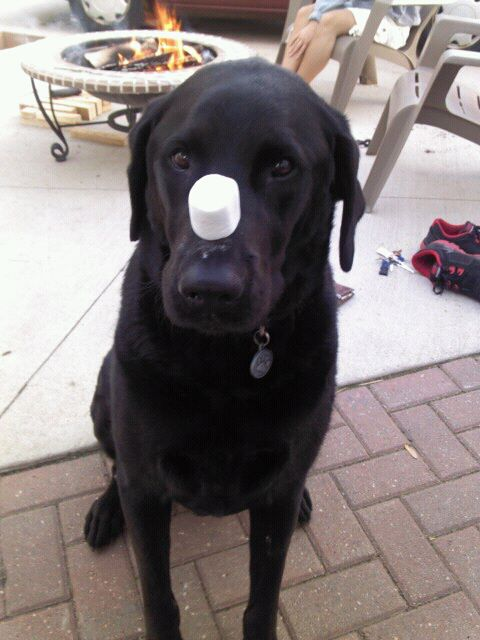 He's patient, but not coordinated. I think I've seen him catch four out of about fifty treats that rested on his nose.